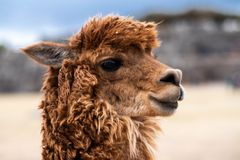 Closeup of brown lama in Sacsayhuaman. Closeup view of brown lama on the blurred background in Sacsayhuaman stock image