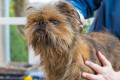 Trimming of the Brussels Griffon closeup Royalty Free Stock Image
