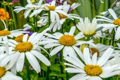 Closeup view of a bunch of daisies Stock Photo