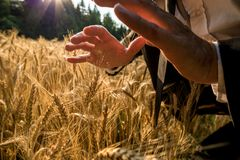 Businessman holding hands above a ripening wheat field in a protective gesture. Closeup view of a businessman holding hands above a ripening wheat field in a royalty free stock image