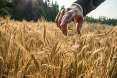 Closeup view of businessman touching a spike of golden wheat ear. Growing in summer wheat field with his finger with sun rays in background stock photography