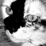Closeup View of a Calico, Tortoise Shell Breed of Feline Royalty Free Stock Photos