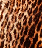 Detail of a ocelot skin. Closeup view of characteristic ocelot pattern Stock Image