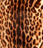 Detail of a ocelot skin. Closeup view of characteristic ocelot pattern on back Royalty Free Stock Photos