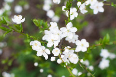 Closeup view of cherry branch blossoms with bright white flowers, bokeh background. Royalty Free Stock Photo