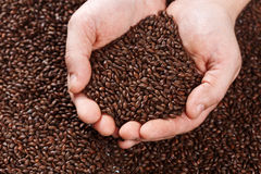 Closeup view of Chocolate Barley Malt Grains in hands. Ingredien. T for beer. Background texture. Ideal for commercial. Backdrop image Stock Photo
