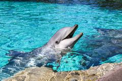 Portrait of a common bottlenose dolphin in a pool. A closeup view of a common bottlenose dolphin in a pool with open mouth waiting for food stock images
