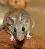 Curious african grass rat Royalty Free Stock Photos