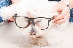 Closeup view of cute dog with glasses Royalty Free Stock Photography