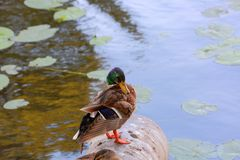 Closeup view of cute duck isolated on water surface background. Beautiful nature backgrounds stock image