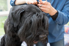 Closeup view of cutting ears of the Schnauzer dog. Closeup view of cutting ears of the Giant Black Schnauzer dog. All potential trademarks are removed Royalty Free Stock Images