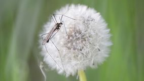 Closeup View of Dandelion With Crane Fly. Sitting on it stock video
