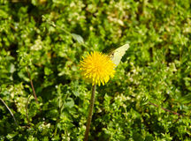Closeup view of a dandelion in the middle of grass with a butterfly sitting Royalty Free Stock Image