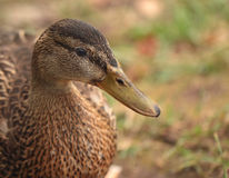 Closeup view of duck head Royalty Free Stock Photo