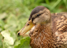 Closeup view of duck head Royalty Free Stock Photography