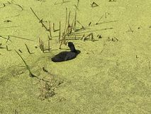 Local wildlife in Elk Island National Park`s Astotin Lake in Alberta. Closeup view of a duck wading in nutrient rich duckweed in in a pond just off of Astotin stock image