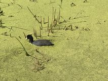 Local wildlife in Elk Island National Park`s Astotin Lake in Alberta. Closeup view of a duck wading in nutrient rich duckweed in in a pond just off of Astotin stock images