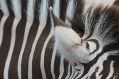 Closeup view of the ear of a Zebra Stock Photography