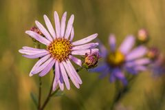 Closeup view of European Michaelmas-daisy Aster amellus. In autumn meadow stock photo