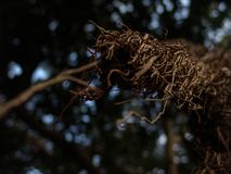 Closeup view of exotic tree long bare root like branches in brown with selective focus royalty free stock photos