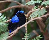 Closeup view of Fairy-bluebird sitting on the branch