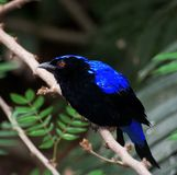 Closeup view of Fairy-bluebird sitting on the branch stock images