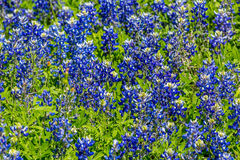 Closeup View of Famous Texas Bluebonnet (Lupinus texensis) Wildf. A Closeup View of a Beautiful Field or Meadow Blanketed with the Famous Texas Bluebonnet ( royalty free stock photos