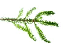 Closeup view of fir branch isolated on white Royalty Free Stock Photo
