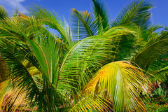 Closeup view of fluffy palm tree leafs in tropical garden against blue sky background Royalty Free Stock Image