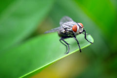 Closeup view of fly Stock Image