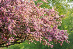 Closeup view of fresh beautiful apple tree blooming flowers against green trees background Stock Photo
