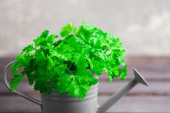 Closeup view of fresh green parsley. In pot Stock Images
