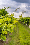 Closeup view of grapevine with vineyard in background. And cloudy sky stock photography