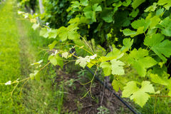 Closeup view of a grapevine. In a vineyard with out of focus background royalty free stock photography