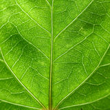 Closeup view of green leaf Stock Photos