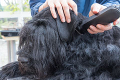 Closeup view of grooming ears of the Schnauzer dog. Closeup view of grooming ears of the Giant Black Schnauzer dog. The dog is lying on the table. All potential Stock Images