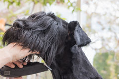 Closeup view of grooming the neck of the Giant Black Schnauzer d. Og by electrical razor. All potential trademarks are removed Royalty Free Stock Photos