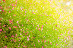 Closeup view of gypsophila flowers Royalty Free Stock Images