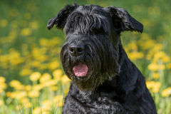 Closeup view of the head of the Giant Black Schnauzer Dog Royalty Free Stock Photography