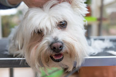 Closeup view of the head of groomed white dog. Looking at the camera Stock Photo