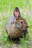 Closeup view of the head of a snowshoe hare.  Royalty Free Stock Photography
