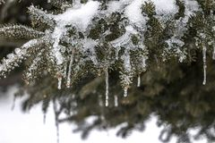 Icicles on Northern Evergreen Tree Royalty Free Stock Images
