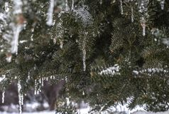 Icicles on Northern Evergreen Tree Stock Photos