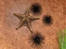 Closeup view of interior textured wall decorated with natural starfish and dark metallic sea urchins Stock Image