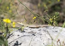 Closeup view of an Italian Wall Lizard on top of a wall in Matera, Italy. Pictured is a closeup view of a light brown Italian Wall Lizard on top of a wall in stock photography