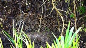 Closeup view of Jaguar licking itself in Pantanal riverbank, Brazil. Side view of jaguar licking itself inPantanal, Brazil, slow motion stock video footage