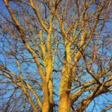 Closeup view of a leafless tree in late autumn. A tall mature tree without leaves viewed from beneath in late autumn Stock Photo