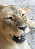 I have two pointy teeth. A closeup view of a Lioness with her mouth opened stock photography