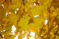 Fall golden maple leaf color on tree from beneath. Closeup view looking up at golden Autumn maple leaf color on tree with light from behind stock photos