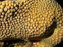 Closeup view of a maldivian coral Stock Photos